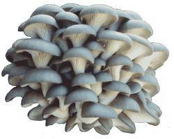 http://nature.health-ua.org/multimedia/files_asset/3/6/4/7/gribu_250_175.jpg