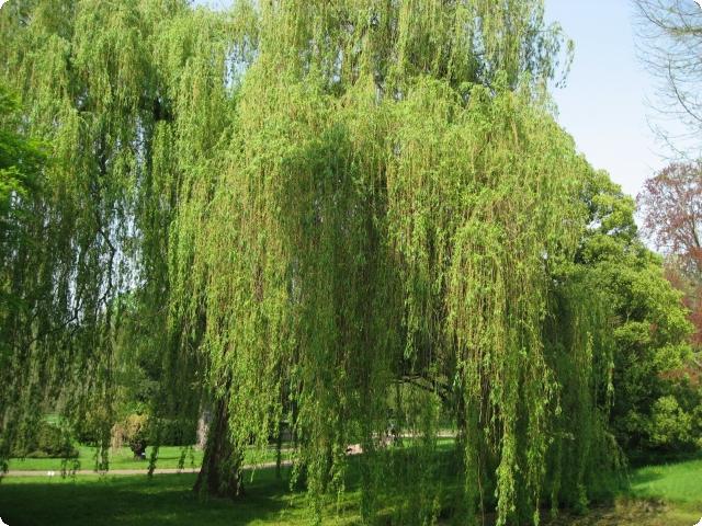 Ива, ракита, верба, ветла.... одним словом, Salix :) : Деревья и ...